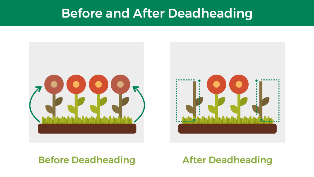 Before deadheading, dead blooms are still on the plant. After deadheading, the dead blooms are removed, and the plant directs that energy from seed development to flower or fruiting development.