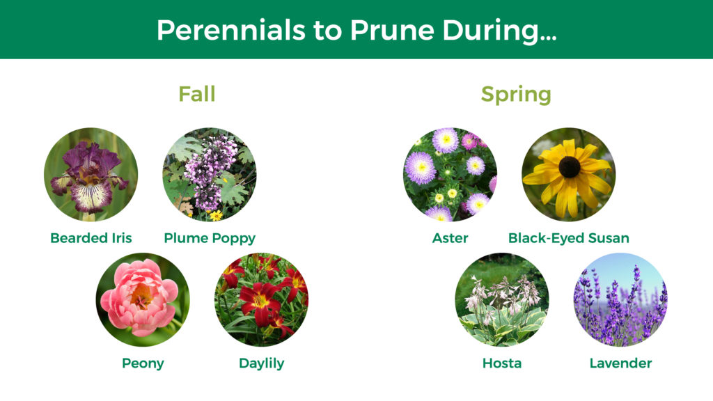Perennials that prune during fall: bearded iris, plume poppy, peony, and daylily. Perennials that prune during spring: aster, black-eyed Susan, hosta, lavender.