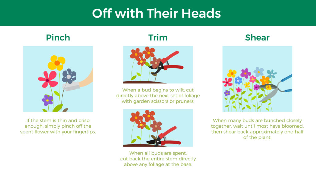 Off with Their Heads: 1) Pinch: If the stem is thin and crisp enough, simply pinch off the spent flower with your fingertips 2) Trim: When a bud begins to wilt, cut directly above the next set of foliage with garden scissors or pruners. When all buds are spent, cut back the entire stem directly above any foliage at the base. 3) Shear: When many buds are bunched closely together, wait until most have bloomed, then shear back approximately one-half of the plant.