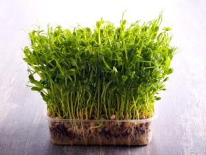 Your Perfect Micro-Gardening Project: How to Grow Microgreens