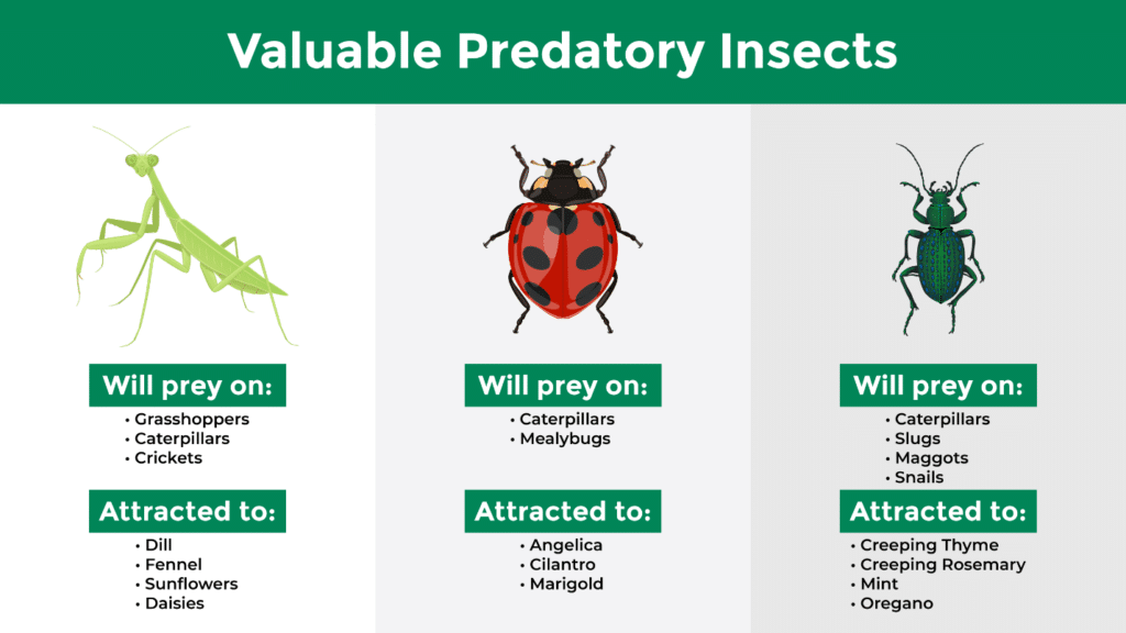 Praying mantes, ladybirds, and ground beetles are valuable predatory insects in your spring garden.